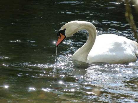 Cob swan on the Black Water, near Blackbushe Park